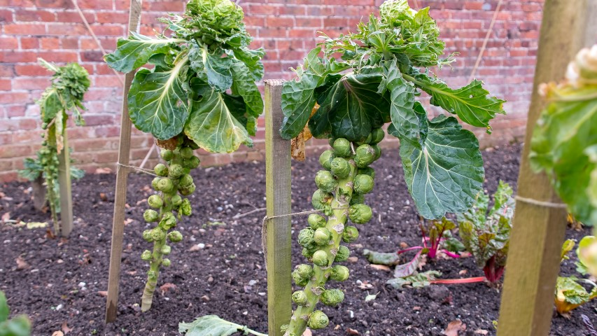 Brussels Sprouts Seed